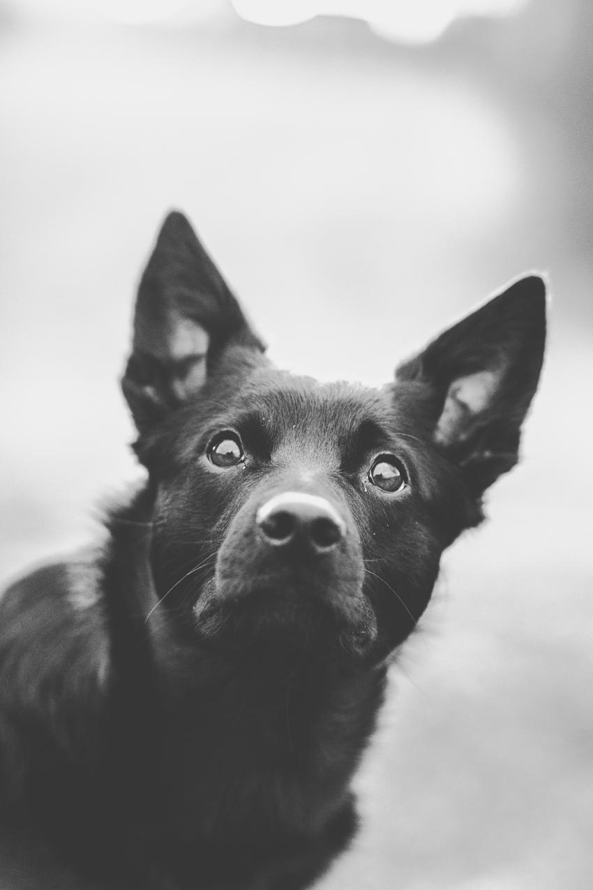 Hundportätt på Australian Keplien Ingvar – Fotograf Elsa Wiliow, Borlänge, Dalarna